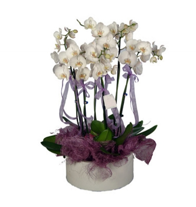 purple phalanopsis 6 Branches White Orchids