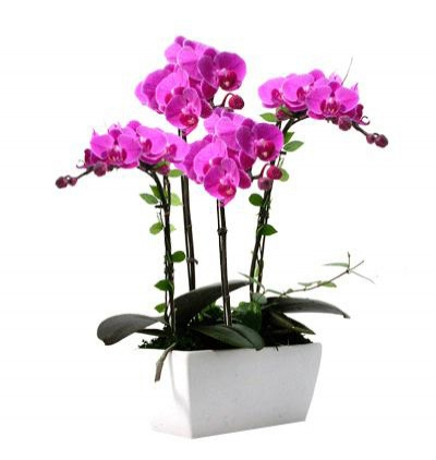 purple lisyantus bouquet 4 Branches Pink Orchids