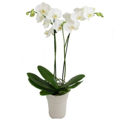 turkey flower delivery Orchids 2 Branches